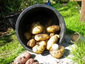 Oogst aardappeltoren gewone soort
