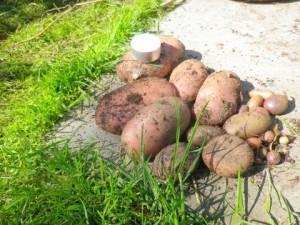Deze week de aardappeltoren geoogst. Van de bijzondere aardappeltjes voornamelijk roze soort (ik weet niet meer welk ras), zie foto, een enkele zwarte en nog wat klein grut. Zelf had ik bovenop de toren nog een paar Frieslanders gezet. Zo te zien was de oogst Frieslanders geweldig, ik denk wel 5 kilo van 4 aardappeltjes. Van de roze soort denk ik 2 kilo en de rest te verwaarlozen. Ben benieuwd hoe het bij de anderen is. Bij mij stond de toren in de loop van het seizoen half in de schaduw omdat de wilg zo uitgegroeid was. In juni, een hele warme maand, was ik met vakantie en heb ik er niets aan gedaan, geen water en niet aanaarden. Toch best een aardig resultaat? Groet, Marijke