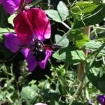 Blauwzwarte houtbij (zeer zeldzaam; tuin 242 en 243)