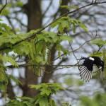 Wegvliegende ekster gefotografeerd door Cees Pouwel.