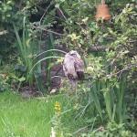 Jonge Ransuil heeft een paar dagen in tuin 130 gezeten. Helaas sterk vermagerd en overleden.