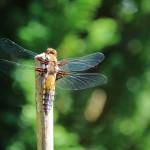 Libelle gefotografeerd door Cees Pouwel
